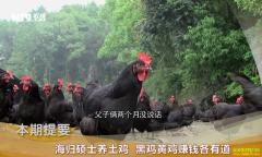 [致富经]湖南涟源海归硕士龚光辉养土鸡 黑鸡黄鸡赚钱各有道