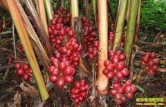 种植草果效益高,亩均收益上万元