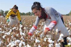 年度棉花市场开启前 棉花价格有望反弹
