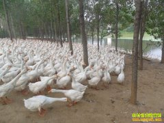 重庆垫江冷安钟养鹅一年收入3000万元