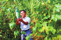 四川泸州农民工王世彬返乡创业种植迷你冬瓜销路好