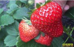 上海白鹤镇周瑜种植红颜草莓 每颗售价50元