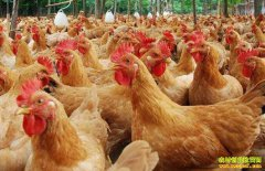 蛋鸡养殖户补栏热情高 毛鸡市场略显冷清