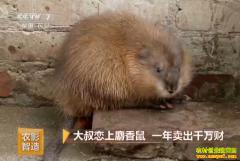 [致富经]河北辛集王振英养殖麝香鼠一年卖出千万财富