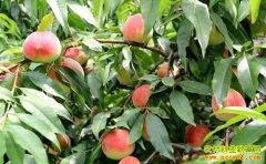 北京平谷屈海全种桃树一棵树赚7万 一亩纯赚22万