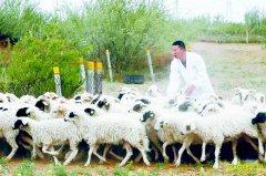 """宁夏盐池""""90后""""大学生冯欢返乡创业养羊致富"""