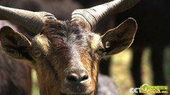 [致富经]云南丘北县谢江福稀奇红骨羊如何卖到80元一斤