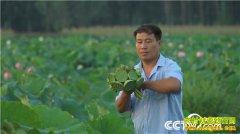 [致富经]山东鱼台县张志龙种植莲子年销800多万