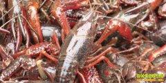 小龙虾收购价跌到个位数 竟是养殖方式惹的祸