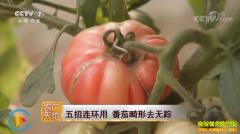 [农广天地]五招连环用 番茄畸形去无踪