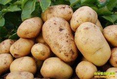 新一轮马铃薯即将集中上市 价格或将走低