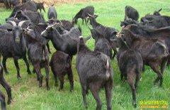 湖北罗田刘锦秀返乡创业养殖黑山羊 甘当致富领头羊