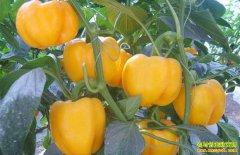 现在种植什么蔬菜有前景最赚钱?