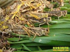 山东省济南孔村镇张丹丹的蚂蚱养殖致富经
