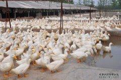 肉鸭价格大幅走低 专家提醒谨慎补栏