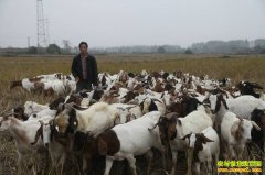 四川南充唐明阳养羊赶着山羊奔富路