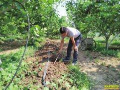 山东平阴:核桃树下养蚯蚓效益高