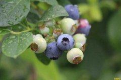 天津蓟州王强拆猪场建大棚种植蓝莓成致富新手段