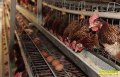 """鸡蛋价格""""六连涨"""" 带动淘汰鸡价格跟着上涨"""