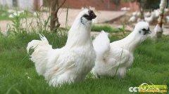 [致富经]两个养鸡汉 年卖上千万:胡韬彭建军养鸡致富经