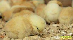 [致富经]江西定南县李良华养黑鸡年卖千万元