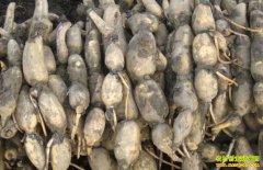 种植面积下降 莲藕价格翻番