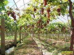 山东单县万继增自然种植法种出高品质葡萄