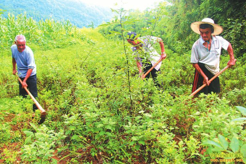 四川泸州:川椒树下套种金丝皇菊效益好