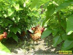 桑叶喂鸡、翻白草种植,注意这些或许蕴含商机