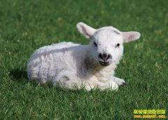 """淡季不淡 羊肉市场供不应求""""羊贵妃""""再现"""