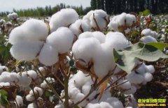 2019年11月棉花价格行情预测