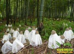 四川泸州餐饮老板张治国竹林种竹荪亩纯收入1万元