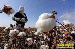 各地棉花丰收在望 今年新棉花价格可能低于去年