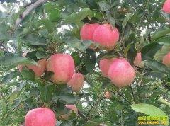 早熟苹果陆续上市 大量上市后苹果价格或回落