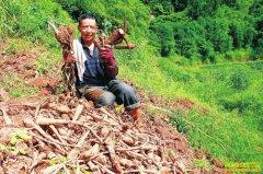 """四川泸州种植白芷赚钱吗:农户种白芷""""订单""""药材赚得欢"""
