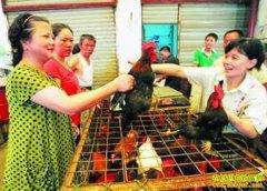 毛鸡价格直线上升 养一只鸡净赚四五块