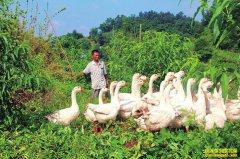 四川泸州罗明辉桃园套养大白鹅奏响致富歌