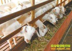 河北卢龙县高清喜养羊种红薯种养致富经