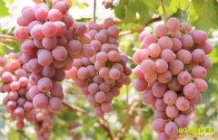 安徽葡萄价格呈下跌趋势 今年种葡萄赚钱吗?