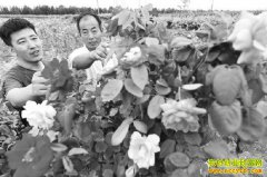 山东阳谷县洪士强种植月季树效益成倍翻