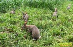 家兔、野兔巧辨别避免上当受损失