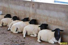 山东单县黄圣全的养羊致富经