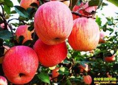 """今年苹果行情预测:苹果丰收在即 """"苹果自由""""近在眼前"""