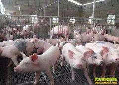 """超长""""猪周期""""利润诱人 专家:小养殖户量力而行"""