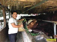 重庆丰都县曾宪忠养牛年入20万元变牛老板