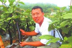 四川泸州王欢返乡创业种植再生茄子亩入8000元