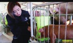 """陕西凤翔县美女""""猪倌""""张凌云养猪致富经"""