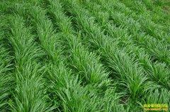 一次投资,终生受益!这三种草坪种植效益都不错