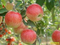 早熟苹果上市,今年产量如何?苹果价格涨了跌了?