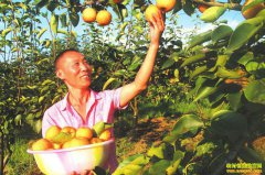 四川泸州王强返乡创业种植黄金梨好赚钱